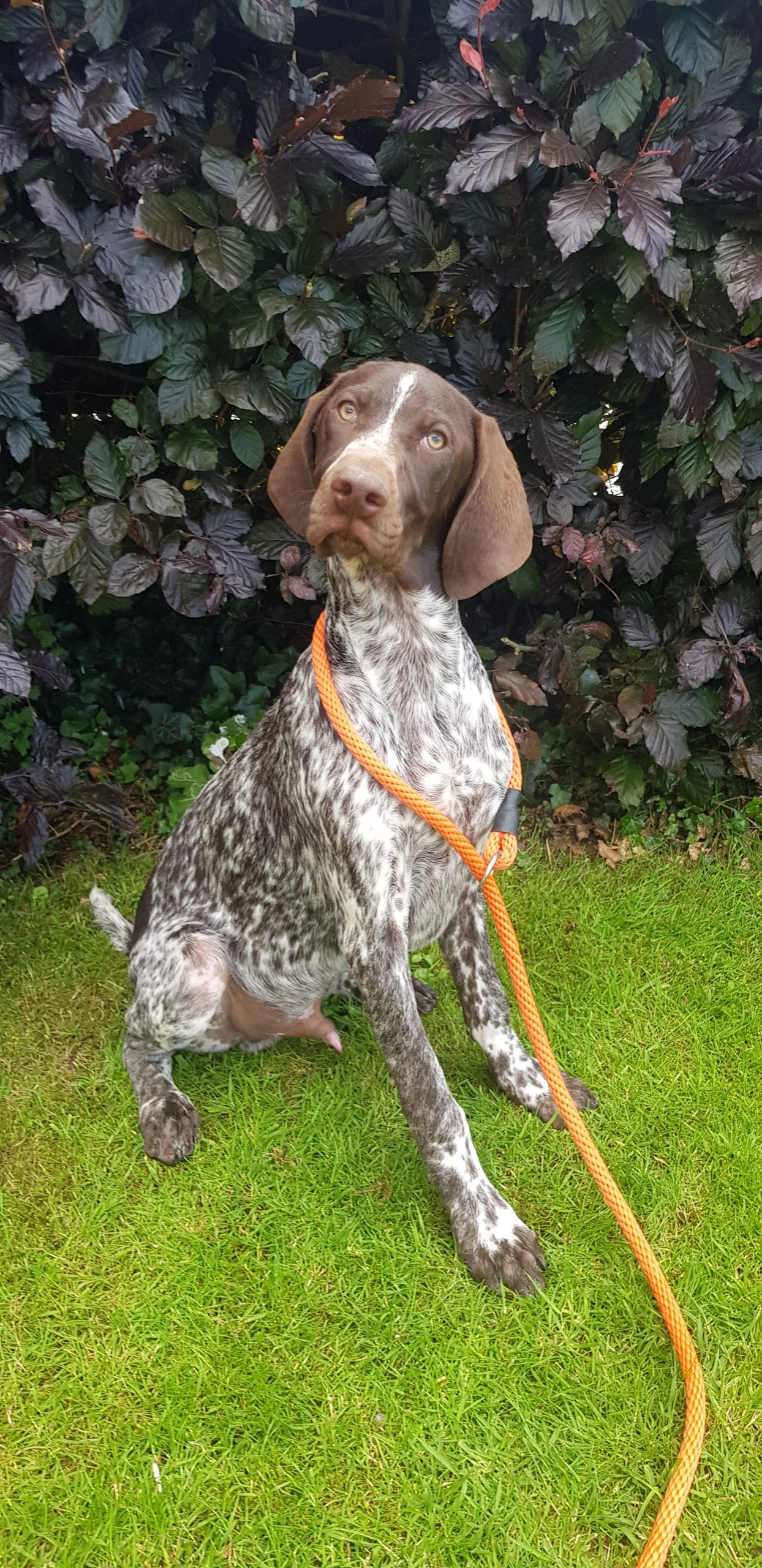 German Shorthaired Pointer dog for sale