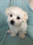 Male Maltese Pup for sale