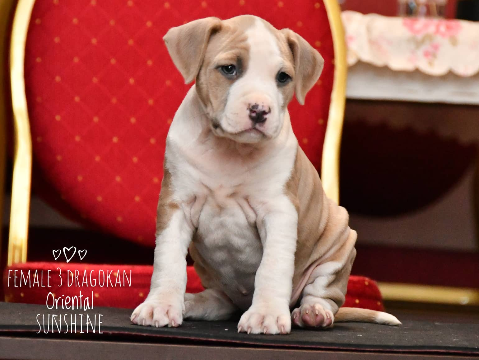 American Staffordshire Terrier pups for sale
