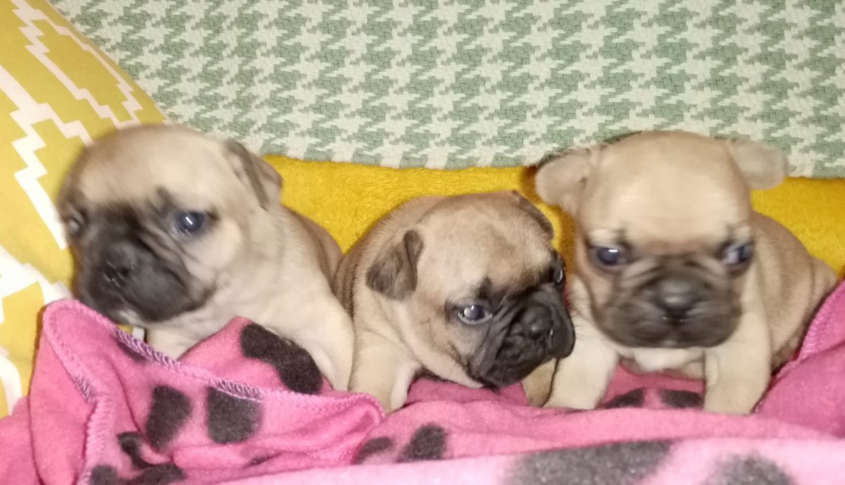 French Bulldog puppies for sale