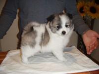 German Spitz Mittel pup for sale
