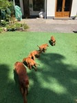 Red setter pups IKC for sale