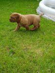 Dogue de Bordeaux dogs for sale