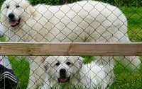 Pyrenean Mountain Dog pups for sale