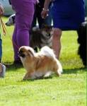 Tibetan spaniels pups for sale
