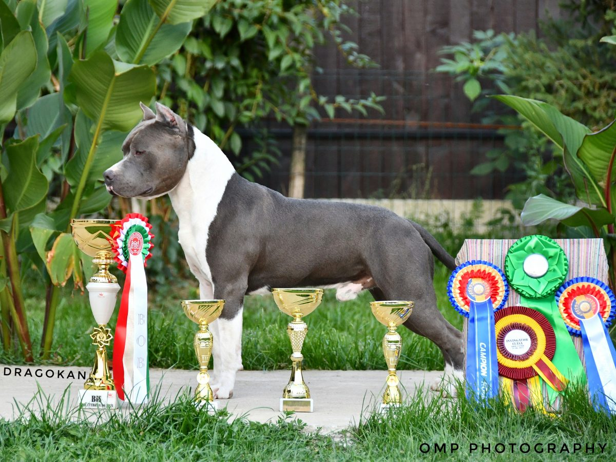 American Staffordshire Terrier pup for sale