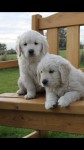 Golden Retriever pups for sale