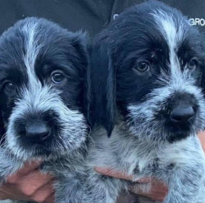 German Wirehaired Pointers for sale