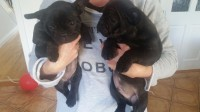 French Bulldog pups IKC for sale