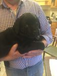 Labrador Retriever pups for sale