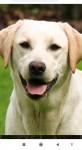 Golden Labrador for sale