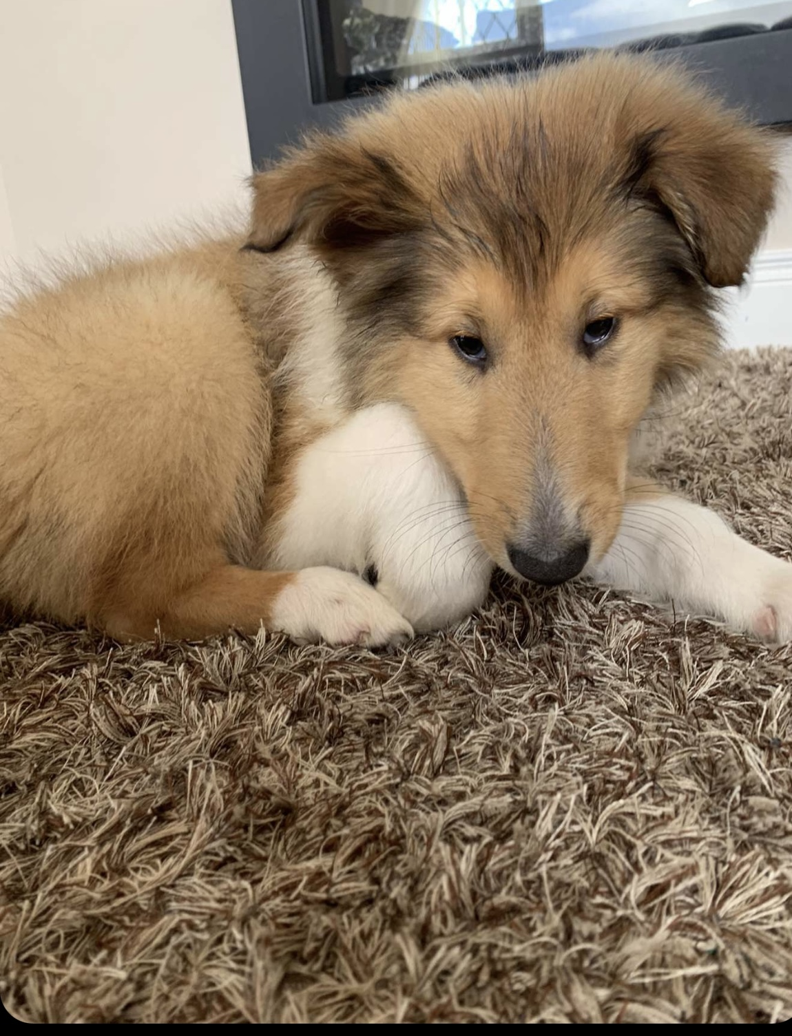 Rough Collie pups for sale