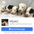 Old English Sheepdog pups for sale