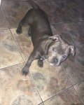 Staffordshire Bull Terrier for sale IKC