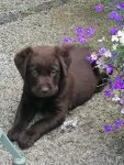 Labrador dogs for sale Chocolate