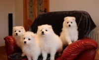 Spitz Pups IKC for sale