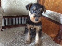 Airedale terrier pups for sale