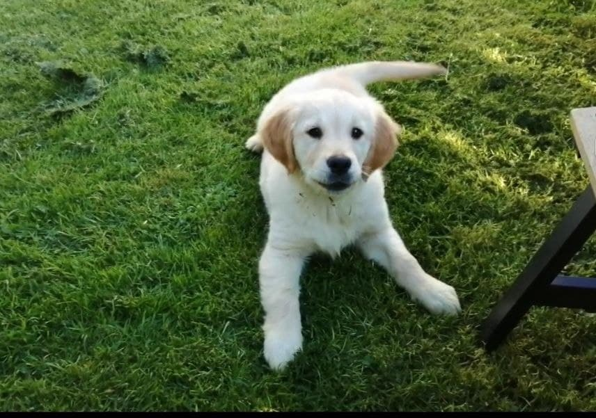 Golden Retriever dogs for sale