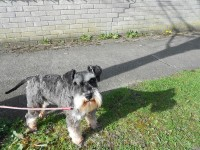 Miniature Schnauzer pups IKC for sale