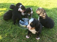 Bernese Mountain dog pups for sale