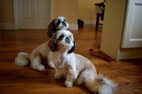 Shih Tzu pup for sale