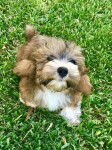 Havanese pups for sale