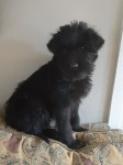 Schnauzer male pup IKC for sale