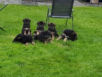 German Shepherd pups for sale in Ireland