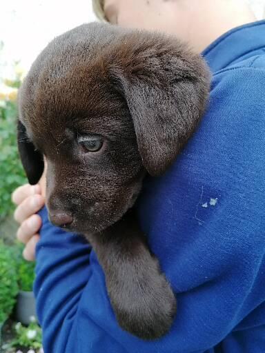 Labrador pups for sale Chocolate