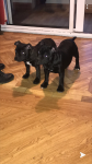 Staffordshire Bull Terrier pups for sale