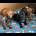 Dachshunds min smooth pups for sale
