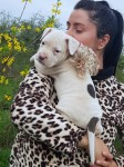 Top amstaff puppies for sale