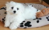 Maltese dogs for sale