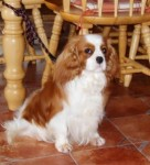 Cavalier King Chalres for stud