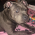 Staffordshire Bull Terrier for sale Ireland