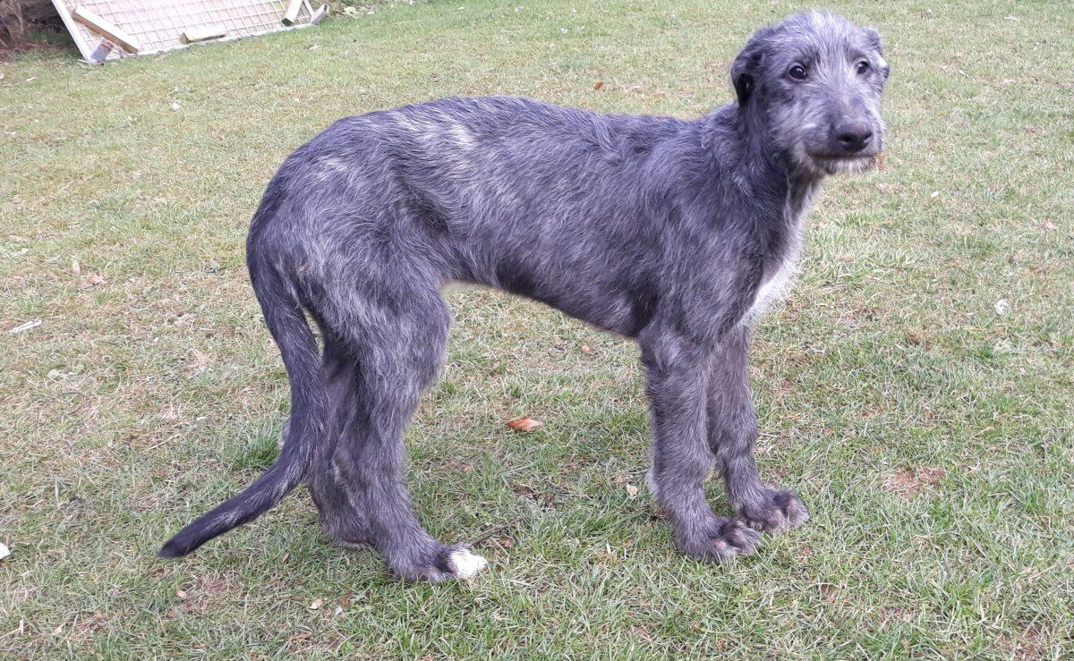 Deerhound Pups for sale