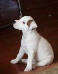 Parson Russell pups IKC for sale