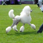 Poodle puppies for sale in Ireland