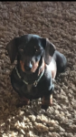 Miniature Smooth haired Dachshund pup for sale