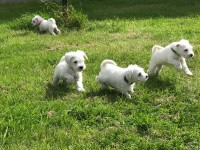mini Schneider pus for sale white