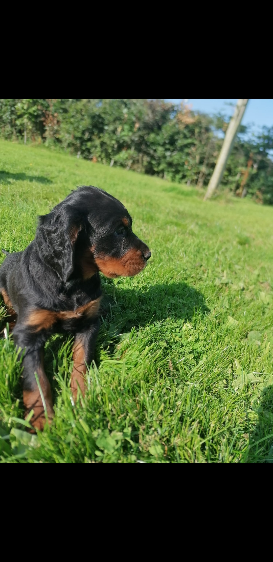 Gordon Setter pups for sale