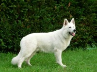 White Swiss Shepherd pups for sale