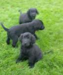 retriever flatcoat retriever pups for sale