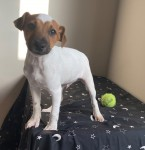 Parsons Terriers pups for sale