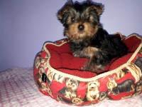 Yorkshire Terrier (Yorkie) pups for sale