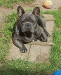 french bulldog stud dog Ireland
