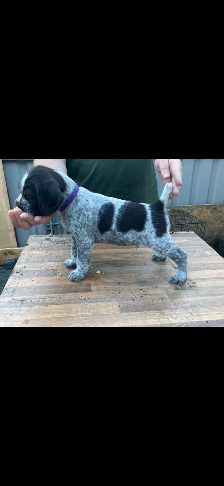 German Wirehaired Pointer dogs for sale