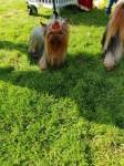 Yorkshire Terrier at stud in Cork Ireland