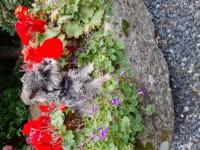 IKC Miniature Schnauzer puppies for sale