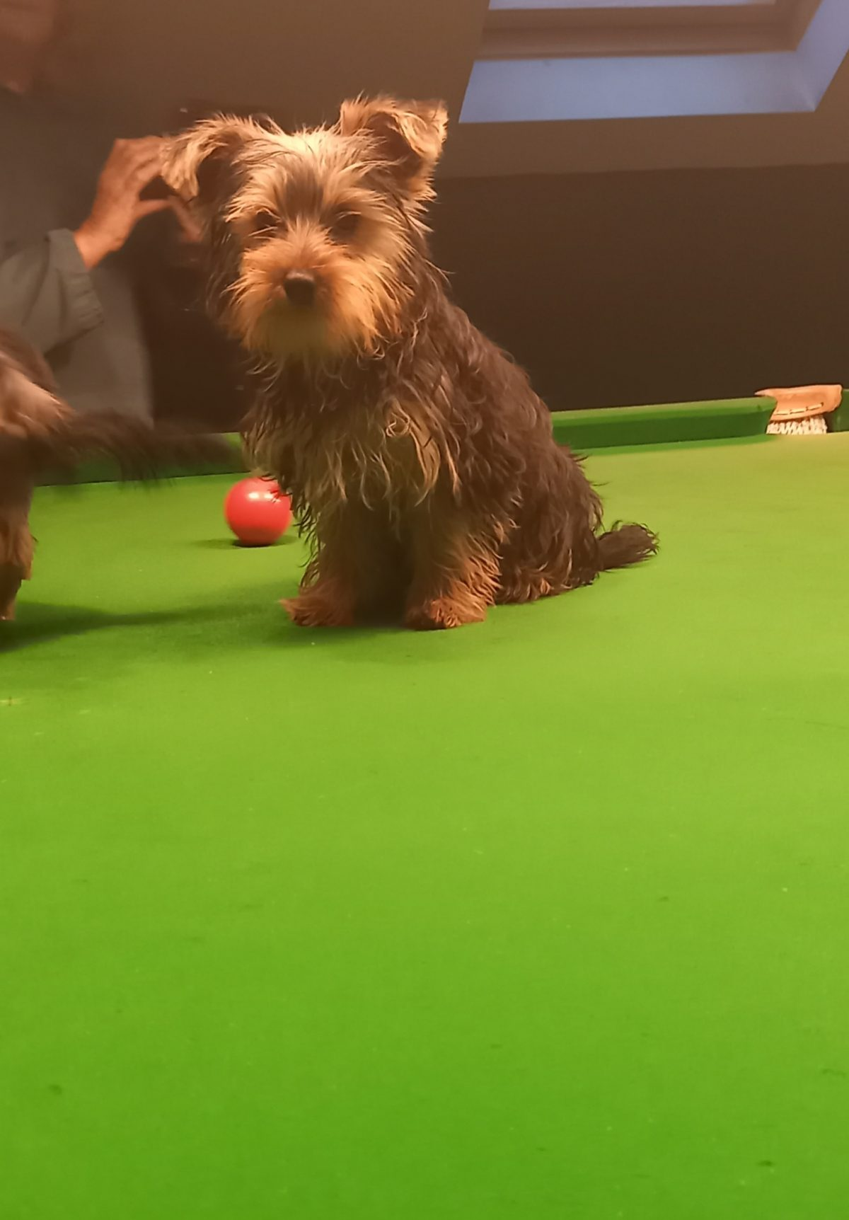 Yorkshire terriers for sale